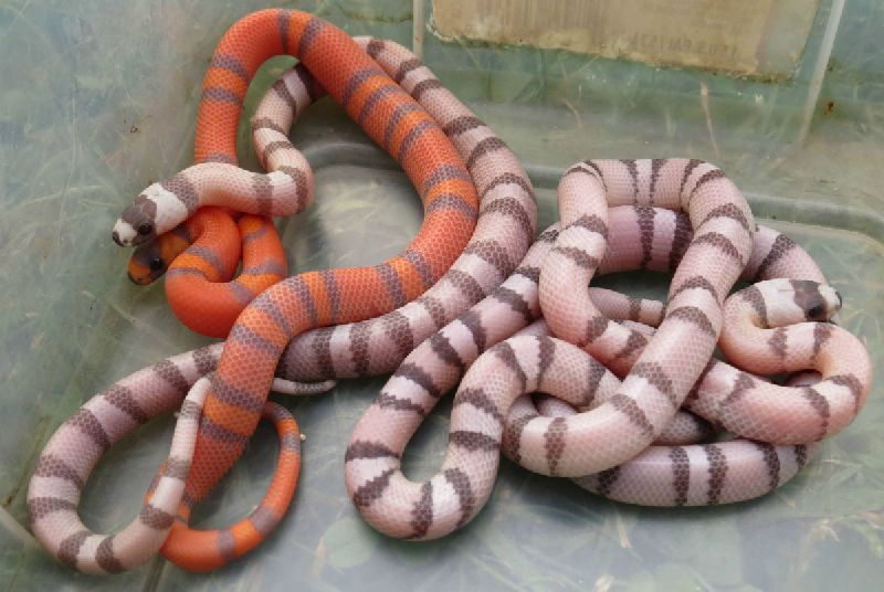 All Ghost Honduran Milk Snake pipping Young adult Ghost